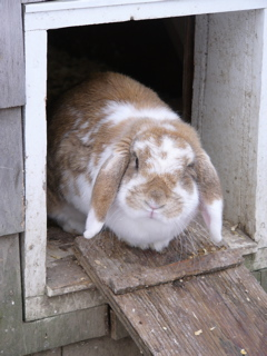 rabbit blocking the henhouse door