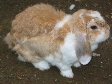 rabbit shedding its summer fur