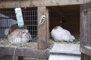 hen visits bunny hutch