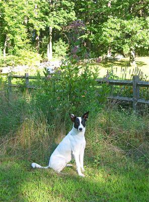 dog and joe pye weed