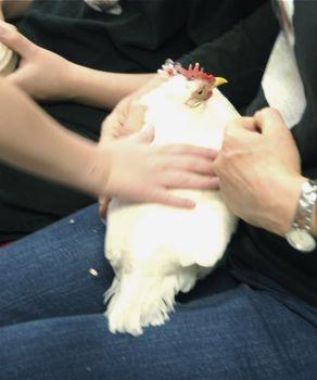 hen visits school classroom