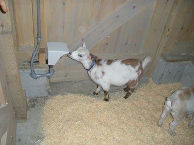 checking-goatcam