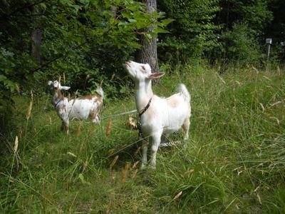 goats-eating-maple