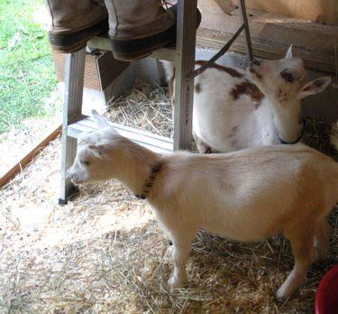 goats help