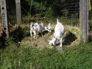 goats in compost