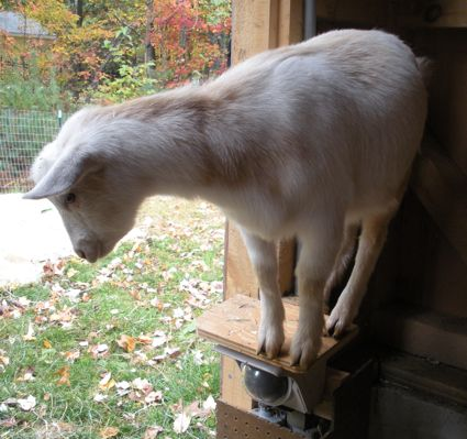 on goatcam