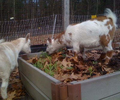 goats in the garden