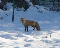fox_zoom