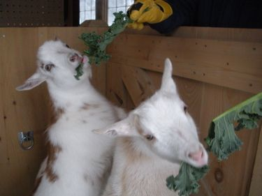 goats eating kale