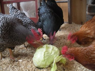 hens and cabbage