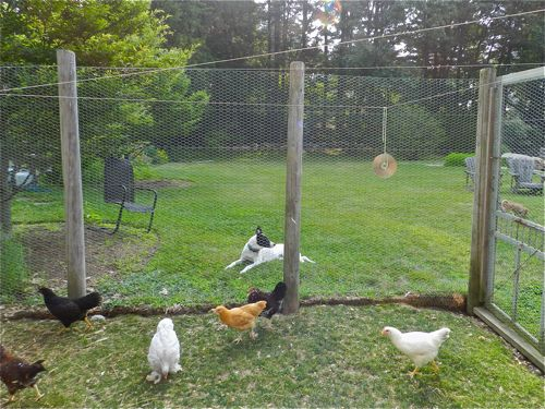 Protecting The Hens From Predators Hencam