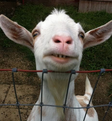 funny looking goat - photo #15