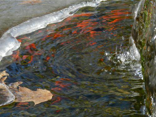 Goldfish breeding for Koi breeding pond
