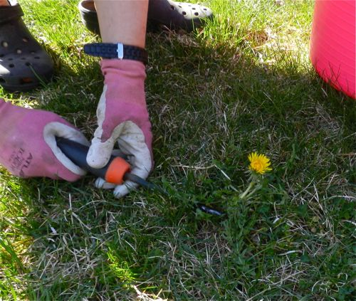 how to get dandelions out of lawn