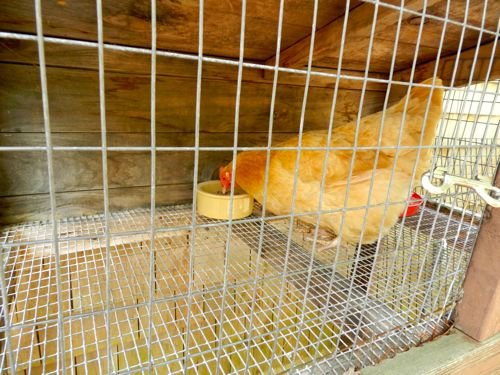 how to get a hen to go broody